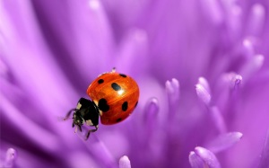 ladybugroll-hdanimals-wallpapers-com